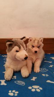 Unsere Siberian Husky Welpen sind