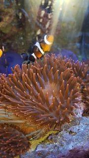 Kupferanemonen und Montipora Ableger Meerwasser