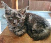 Maine Coon Kitten o P