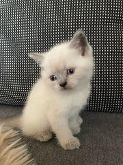 Britisch Kurzhaar Blue Point Kitten