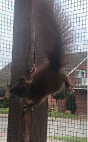 Eichhörnchen Bock