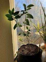 Kumquat Bäumchen Fortunella japonica