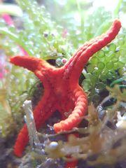 Meerwasser Seesterne Garnelen Korallen und