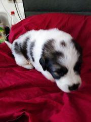 Herdenschutz Hunde Sarplaninac Pyrenäenberghund Familienhund