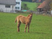 QH Stute in Sonderfarbe