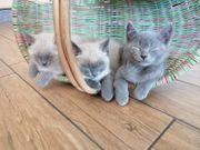 BHK Mix Kitten