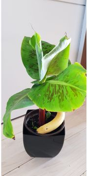 eine schöne Bananenpflanze mit einer
