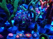 Korallen 24 Ableger
