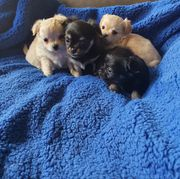 Wunderschöne Chihuahua langhaar Welpen