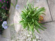 Schmucklilie mit Blumentopf 1 m