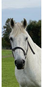Beistellpferd Freizeit Pferd