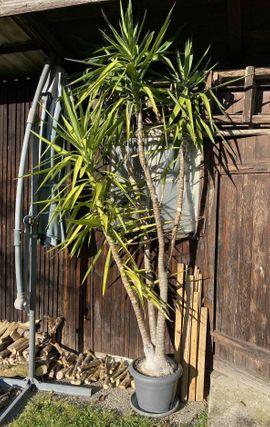 Pflanzen - Riesige Palme - 2 80 m -