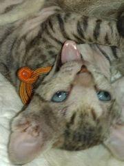 Don Sphynx Kätzchen - einfach zum verlieben