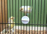Achat Opal gelb Mosaik Kanarienvögel