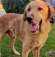 Nono - großer sanfter Hundeschatz