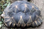 Strahlenschildkröte Astrochelys radiata 1 0