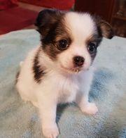 Pomchi Chihuahua-Pommerian