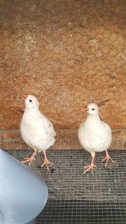Steinhühner in Weiß