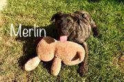 Hundebub Merlin sucht ein Zuhause