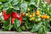 Gemüse - Pflanzen Tomaten Paprika Chili
