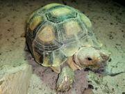 Spornschildkröten und Pantherschildkröten zu verkaufen