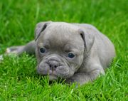 Old English Bulldog Welpen Oeb