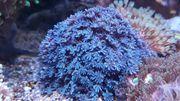 xenien blau Korallen Meerwasser LPS