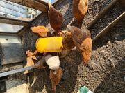 Hühnern zu verkaufen