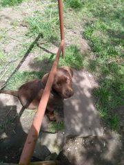 Schokobraune Labrador Hündin 12 Wochen