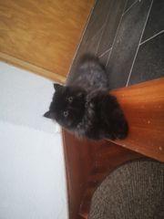 perser kitten zum Verkauf