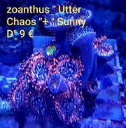 zoanthus Korallen Meerwasser LPS SPS