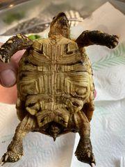 Pantherschildkröte stigmochelys pardalis babcocki