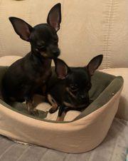 Noch 2 Chihuahua Welpen sucht