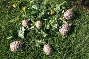 griechische Landschildkröte Schildkröten 2 Jährige