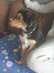 Schäferhund Jack Russel Mix