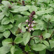 Set45 Thai Basilikum - Ocimum basilicum