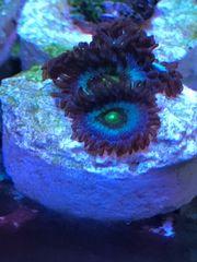 Meerwasser Zoanthus