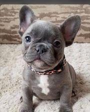 suche französische Bulldogge Welpe