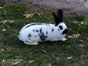 Kaninchen - Zibbe Riesenschecke große Rasse