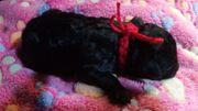Süße schwarze Zwergpudel-Welpen