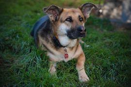 Bild 4 - Ira 7 Jahre - Collie-Schäferhund-Shepherd-Mix - Tierhilfe - Lauf