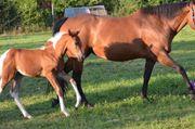 Eindrucksvolles APHA Paint Horse Stutfohlen