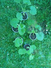junge kräftige zuccini pflanzen