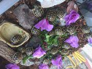 Griechische Landschildkröten Babys Sommer 2020