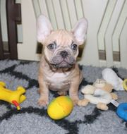 Französische Bulldoggen Welpen Hündin und