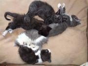 Maine Coon Kitten sind zum