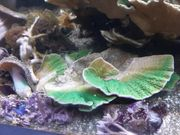 Meerwasser Montipiraplatte Koralle