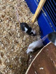 Mäuse abzugeben