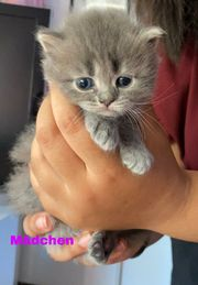 Britisch Kurzhaar Scottish Fold Kitten