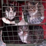 Wunderschöne Katzen und Kater kastriert